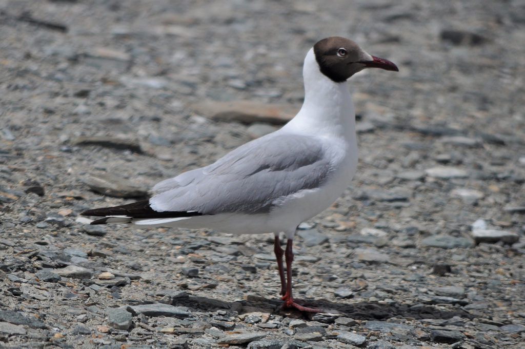 Brown Headed Gull in Ladakh