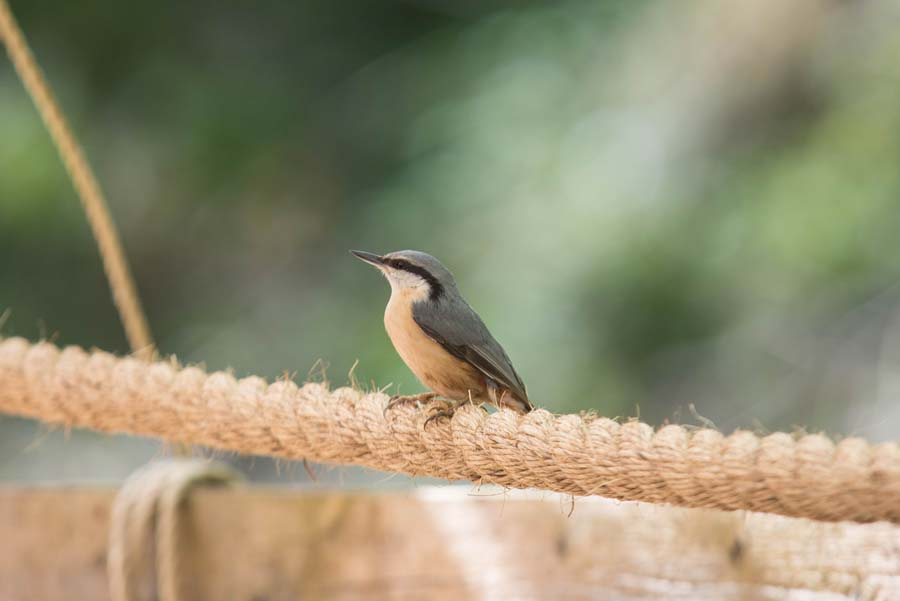 Nuthatch by Richard Aspinall