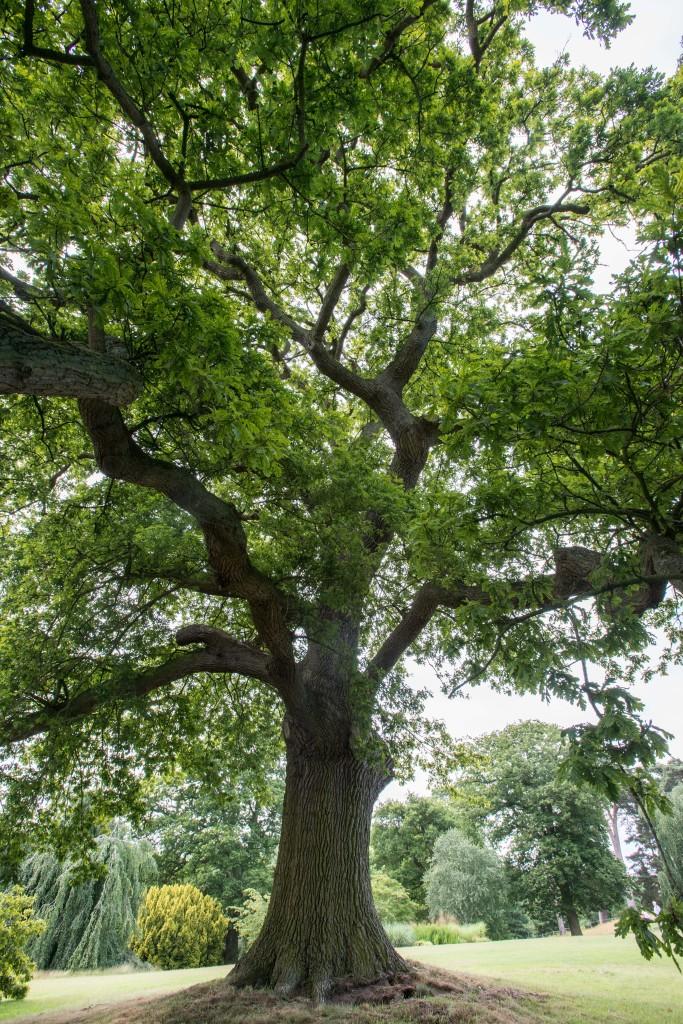 Mature trees at Cholmondeley Castle