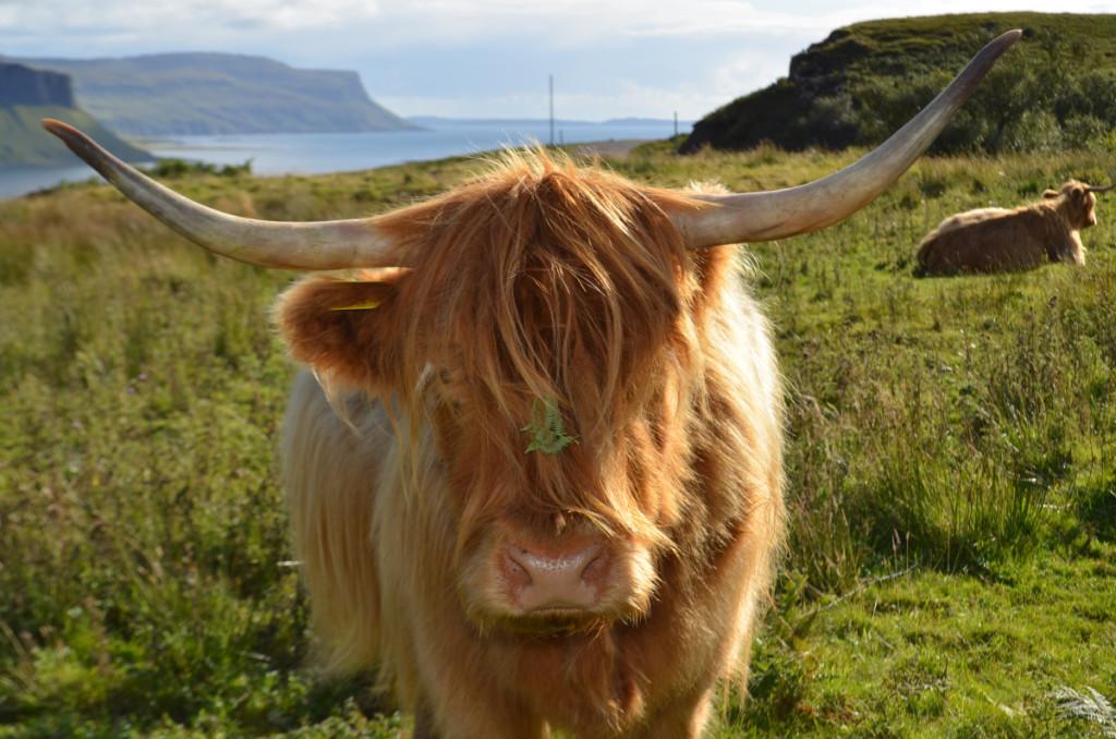 Gruline cow