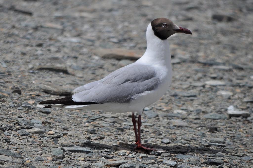 Brown Headed Gull in Ladakh